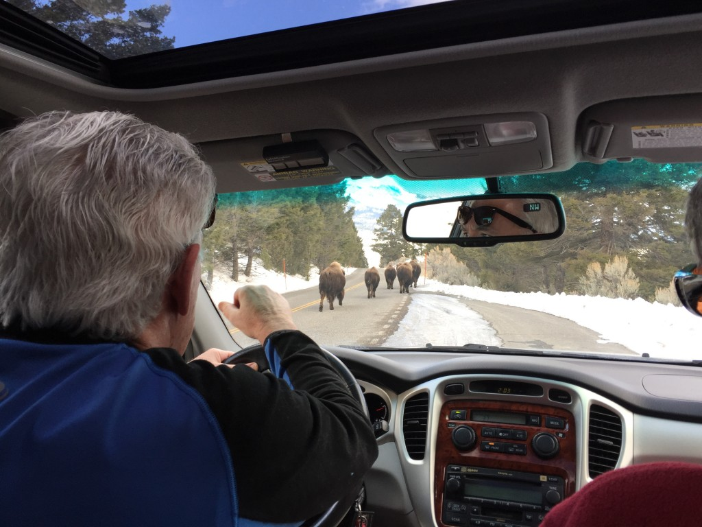 Rush hour in Yellowstone