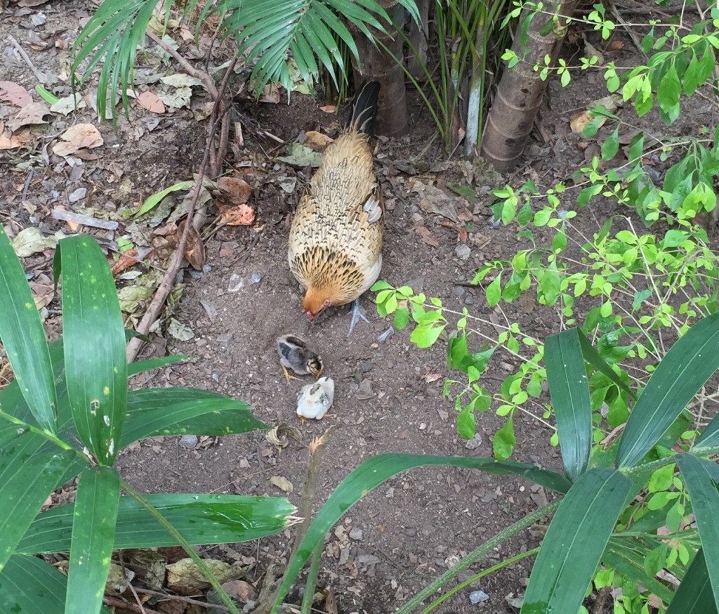 Baby chicks and mother.  It was crazy hard to get a picture where their camouflage didn't render them almost invisible.