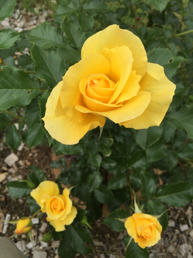 "The ""Mr. Lincoln"", a remarkable yellow."
