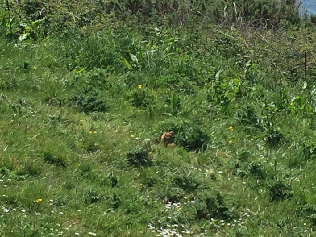 I know, it's impossible to make out any more than a brown blur here. But the fox and its kit that I saw my first day out walking ran into hiding as soon as they saw me, so I never got a better picture.