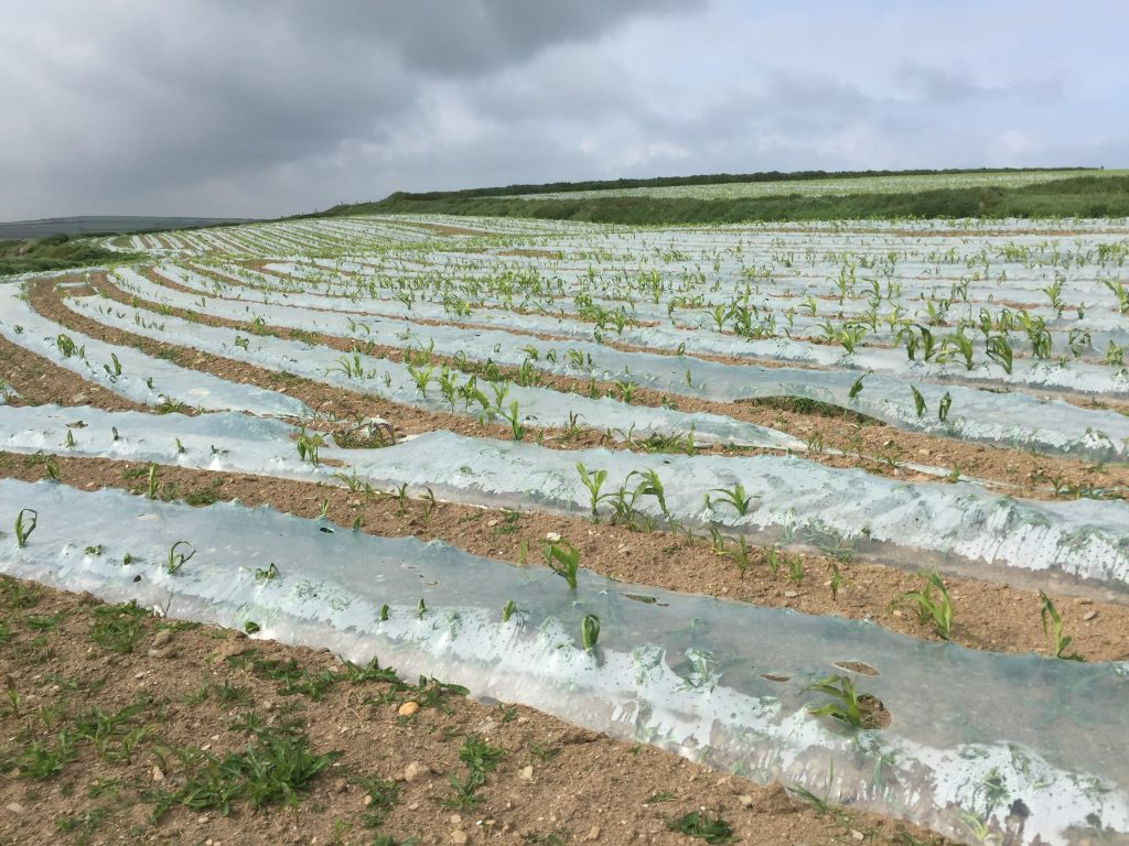 I assume that the plastic sheeting is to keep the wind and rain from washing away the soil from the spouting plants.