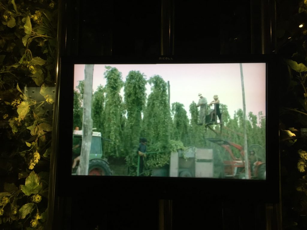You can see the little green buds on the vines, on each side of this video display, which are the hops. The video is about their harvesting -- the height of the vines is surprising! (I read that they used to be harvested by guys on stilts. They must have had an amazing workman's comp plan.)